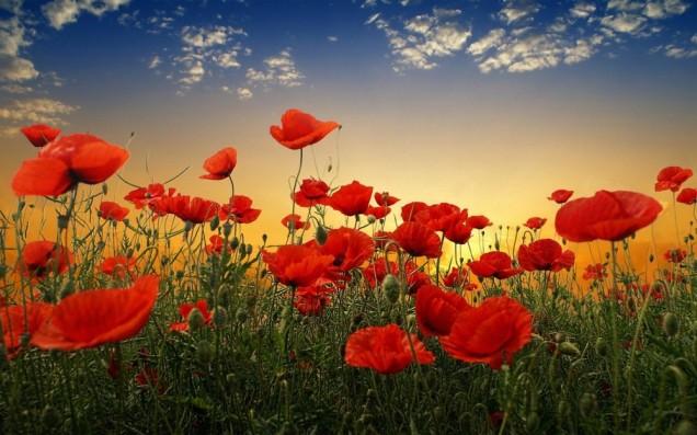 poppies-e1438918349121